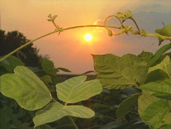 kudzu sunset